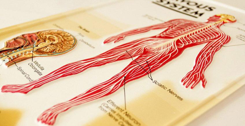 Periferik Sinir Sistemi Hakkında Bilmeniz Gerekenler